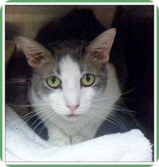 Domestic Shorthair Cat for adoption in Marietta, Georgia - TRACE