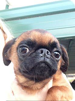 Brussels Griffon Dog for adoption in Cumberland, Maryland - Maebe