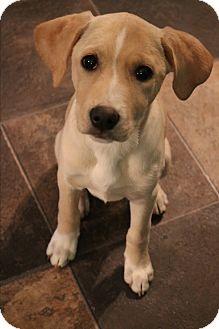 Labrador Retriever/Beagle Mix Puppy for adoption in Bedminster, New Jersey - Addie