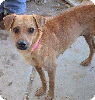 Chihuahua/Terrier (Unknown Type, Small) Mix Dog for adoption in Pahrump, Nevada - Bambi