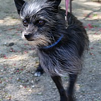 Adopt A Pet :: Brian - Canyon Country, CA