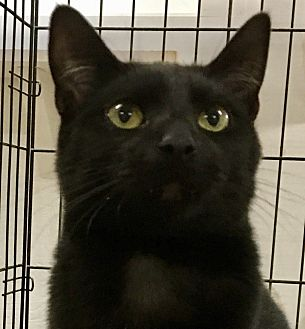 Domestic Shorthair Kitten for adoption in Beaufort, South Carolina - Spike Lee