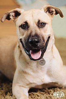 German Shepherd Dog/Mastiff Mix Dog for adoption in Portland, Oregon - Shane