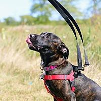 Adopt A Pet :: Pepper - Wheaton, IL