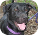 Labrador Retriever Mix Dog for adoption in Eatontown, New Jersey - Spike