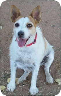 Jack Russell Terrier Dog for adoption in Phoenix, Arizona - LADY