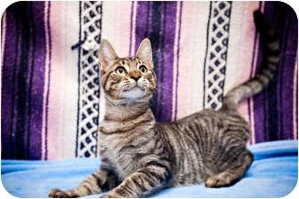Domestic Shorthair Cat for adoption in Houston, Texas - Jefferson
