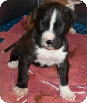 Boxer Mix Puppy for adoption in Gaffney, South Carolina - Brenda