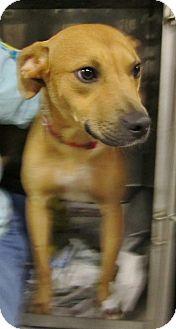 Labrador Retriever Mix Puppy for adoption in Beacon, New York - Darby