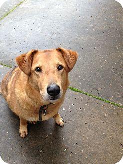German Shepherd Dog/Collie Mix Dog for adoption in Gig Harbor, Washington - Jack