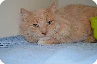 Maine Coon Cat for adoption in Sanford, Maine - Jinx