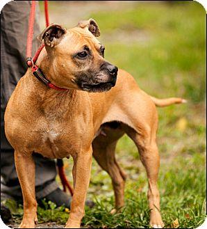 Staffordshire Bull Terrier Mix Dog for adoption in Colville, Washington - Honeybun
