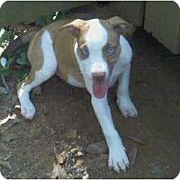 Adopt A Pet :: Stone - Killen, AL