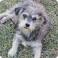 Adopt A Pet :: Coco - La Habra Heights, CA