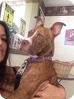 American Bulldog/Terrier (Unknown Type, Medium) Mix Puppy for adoption in Miami, Florida - Luna