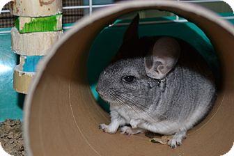 Chinchilla for adoption in Lindenhurst, New York - Harmony