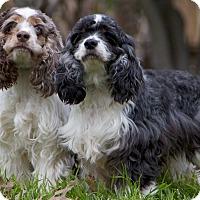 Adopt A Pet :: Sable and Daisy - Sugarland, TX