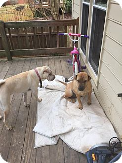 Shar Pei Dog for adoption in Apple Valley, California - Cookie in GA - pending