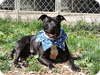 American Pit Bull Terrier Mix Dog for adoption in South Park, Pennsylvania - Dutch