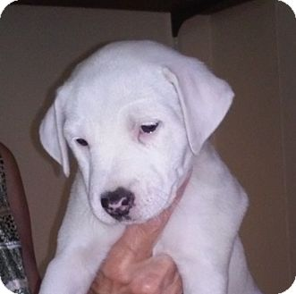 Fox Terrier (Smooth)/Bulldog Mix Puppy for adoption in Conesus, New York - Daffodil