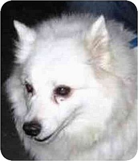 American Eskimo Dog/Spitz (Unknown Type, Medium) Mix Dog for adoption in Downey, California - Stephanie