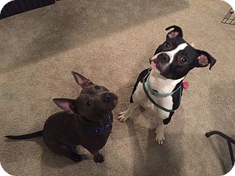 Great Dane/Pit Bull Terrier Mix Dog for adoption in Grand Ledge, Michigan - Andre-Foster Needed