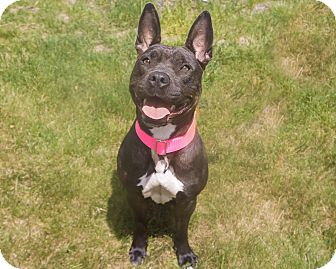Pit Bull Terrier Mix Dog for adoption in Mansfield, Massachusetts - Penny- Adoption pending
