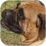Bullmastiff Dog for adoption in North Port, Florida - Hayley
