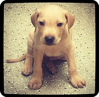 Labrador Retriever Mix Puppy for adoption in Grand Bay, Alabama - Zayden
