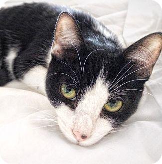 Domestic Shorthair Kitten for adoption in Arlington/Ft Worth, Texas - Dexter