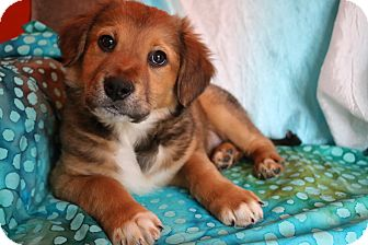 Golden Retriever/Labrador Retriever Mix Puppy for adoption in Allentown, Pennsylvania - Luna