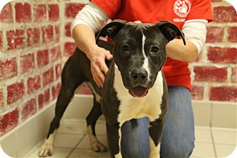 American Pit Bull Terrier Mix Puppy for adoption in Elyria, Ohio - Rachel