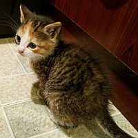 Calico Kitten for adoption in Whitestone, New York - GOLDIE