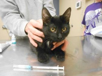 Domestic Shorthair/Domestic Shorthair Mix Cat for adoption in Quincy, Illinois - Panama(Clem)