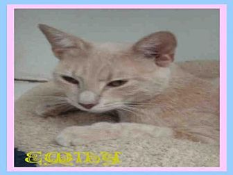 Domestic Mediumhair Cat for adoption in Fort Walton Beach, Florida - EMILY