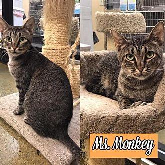 Domestic Shorthair Cat for adoption in Atlanta, Georgia - Ms. Monkey170540