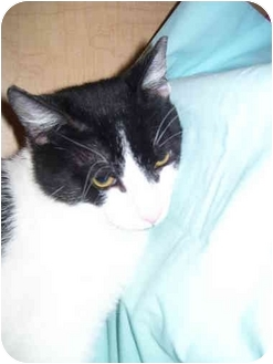 Domestic Shorthair Cat for adoption in Jenkintown, Pennsylvania - Harley