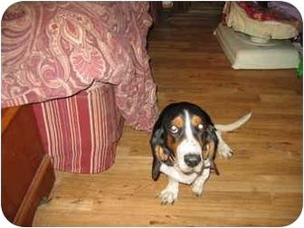Basset Hound Dog for adoption in Sugar Land, Texas - Meghan