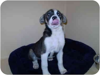 Australian Shepherd Mix Puppy for adoption in Westport, Connecticut - Gracie