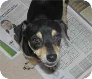 Chihuahua/Dachshund Mix Dog for adoption in Loiza, Puerto Rico - Panchito
