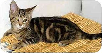 Domestic Shorthair Cat for adoption in Danville, Kentucky - Tac