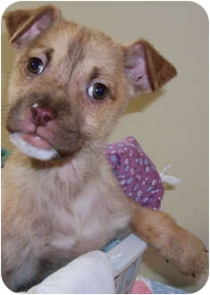 Chihuahua/Dachshund Mix Puppy for adoption in Struthers, Ohio - Peaches