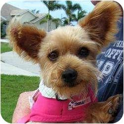 Yorkie, Yorkshire Terrier Dog for adoption in Hardy, Virginia - Addie