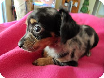 Chihuahua/Dachshund Mix Puppy for adoption in Riverside, California - Polka Dot