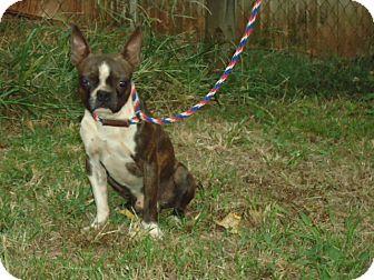 Boston Terrier Mix Dog for adoption in Allentown, Pennsylvania - Austin