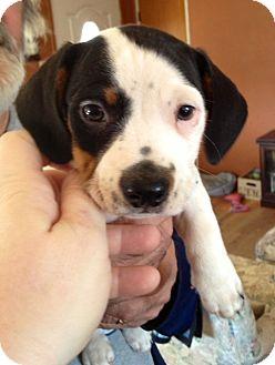 Basset Hound/Beagle Mix Puppy for adoption in ST LOUIS, Missouri - Spunky