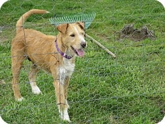 Terrier (Unknown Type, Medium)/Airedale Terrier Mix Dog for adoption in Beacon, New York - Scruffy (DC)