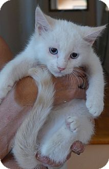 Siamese Kitten for adoption in Jacksonville, Florida - Bella