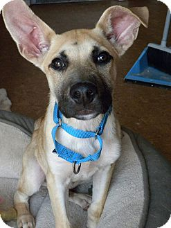 Shepherd (Unknown Type) Mix Puppy for adoption in Hastings, New York - Charlie