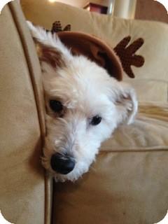 Westie, West Highland White Terrier Mix Dog for adoption in Palatine, Illinois - Zeus